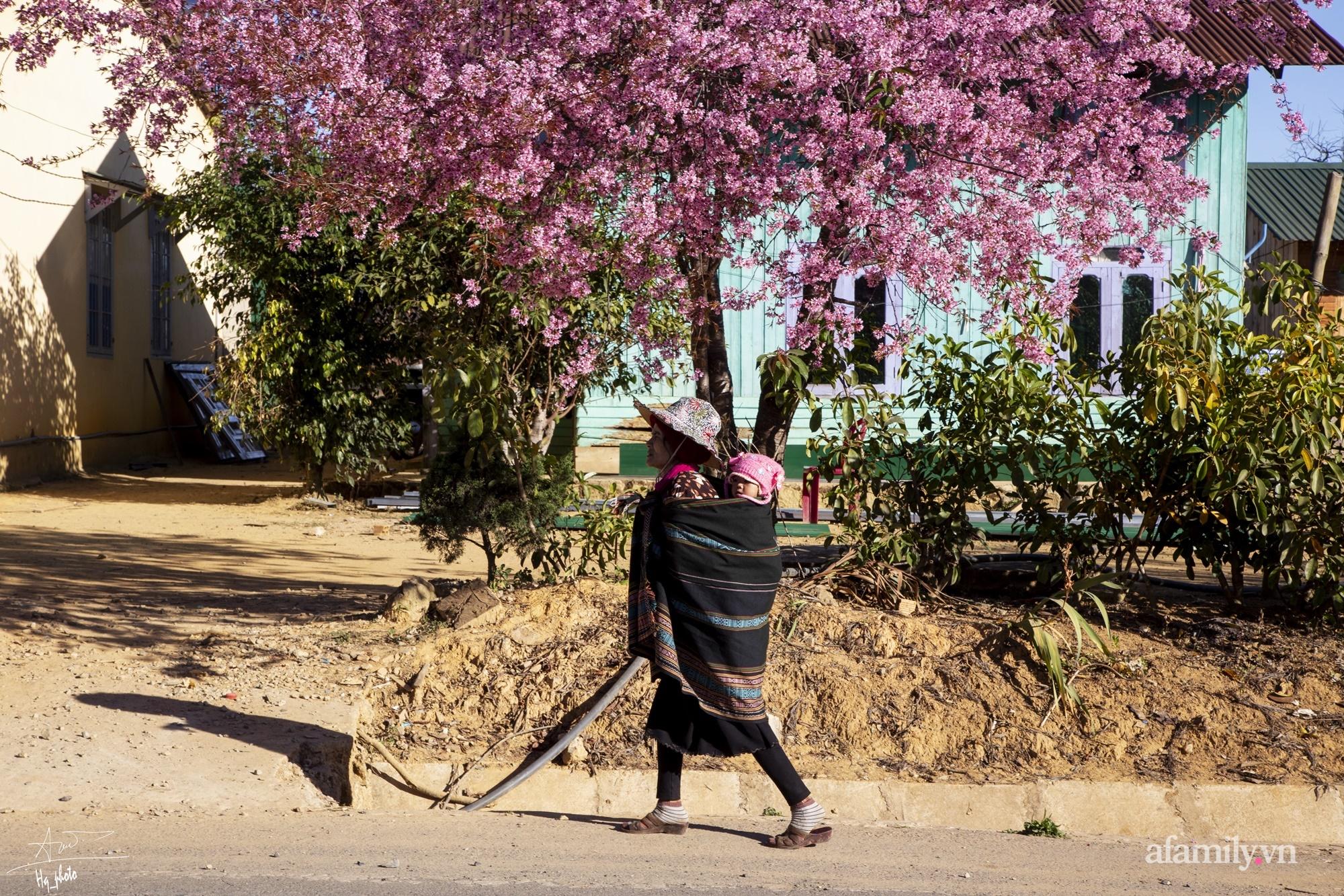 Ngắm hoa mai anh đào nở rợp trời ở ngôi làng đẹp lạ như Tây Tạng, nằm ngay gần trung tâm TP. Đà Lạt mà không phải ai cũng biết - Ảnh 11.