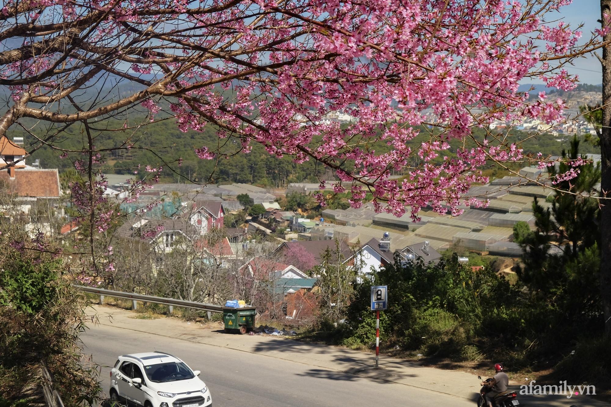 Ngắm hoa mai anh đào nở rợp trời ở ngôi làng đẹp lạ như Tây Tạng, nằm ngay gần trung tâm TP. Đà Lạt mà không phải ai cũng biết - Ảnh 2.