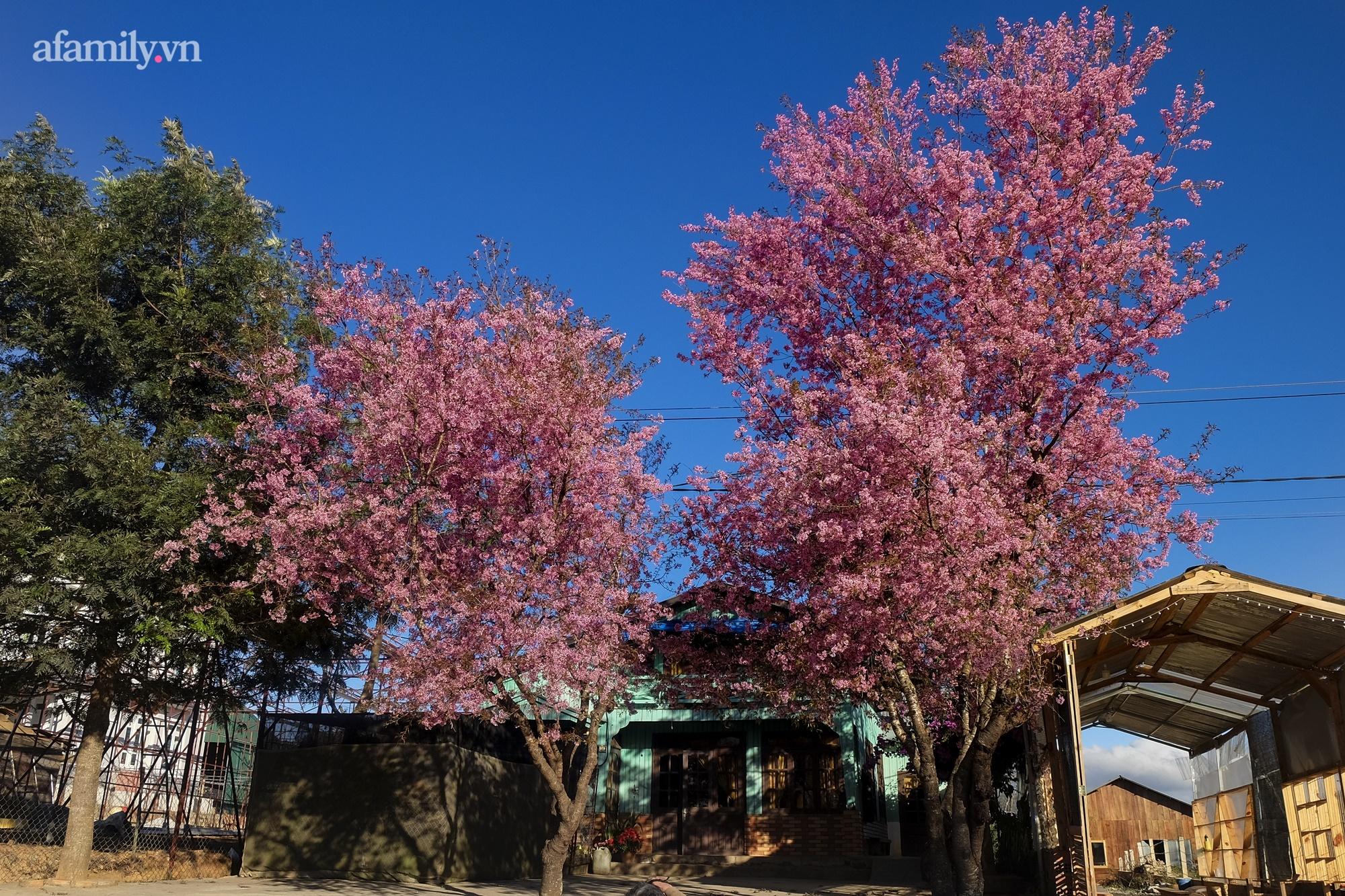 Ngắm hoa mai anh đào nở rợp trời ở ngôi làng đẹp lạ như Tây Tạng, nằm ngay gần trung tâm TP. Đà Lạt mà không phải ai cũng biết - Ảnh 8.
