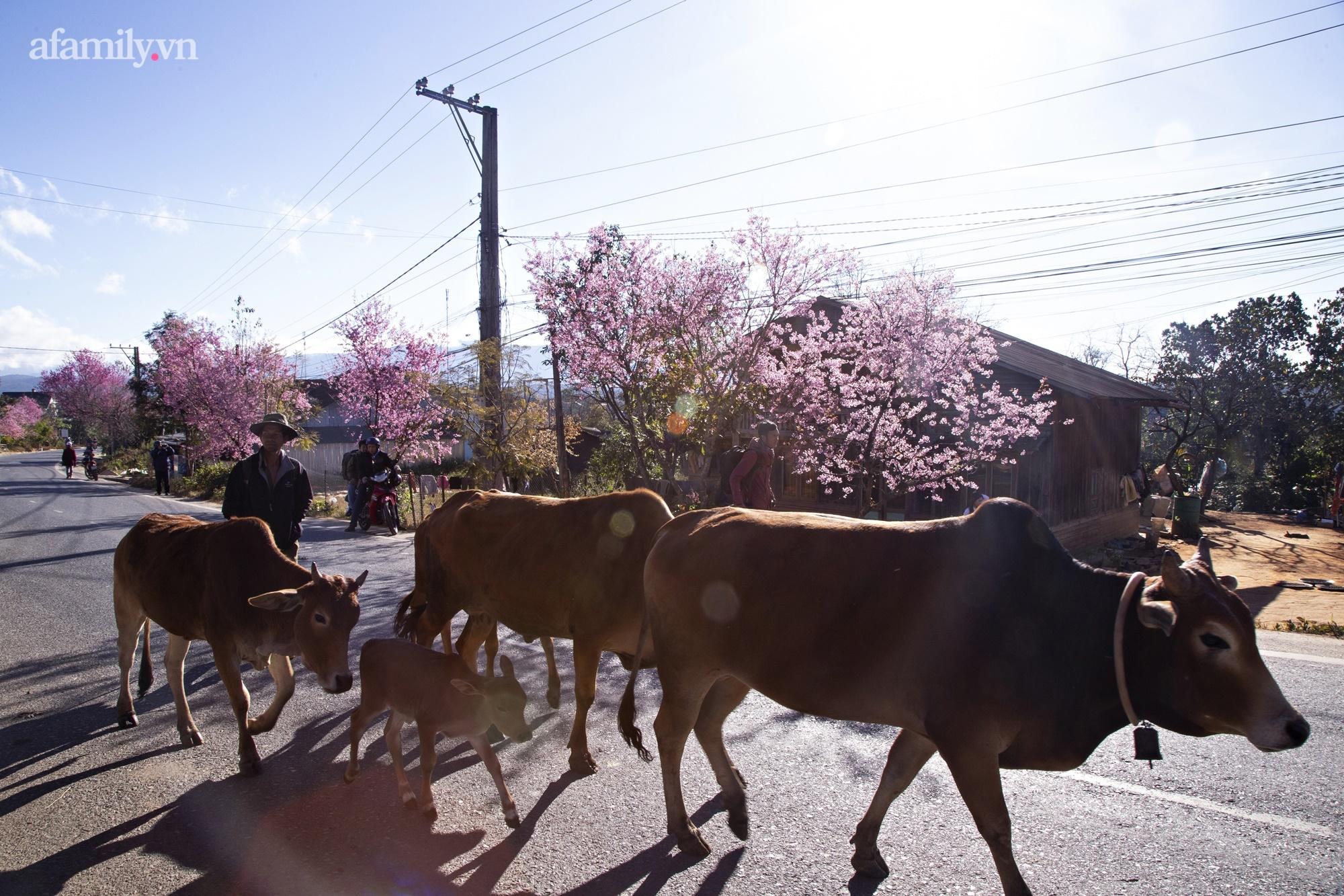 Ngắm hoa mai anh đào nở rợp trời ở ngôi làng đẹp lạ như Tây Tạng, nằm ngay gần trung tâm TP. Đà Lạt mà không phải ai cũng biết - Ảnh 15.