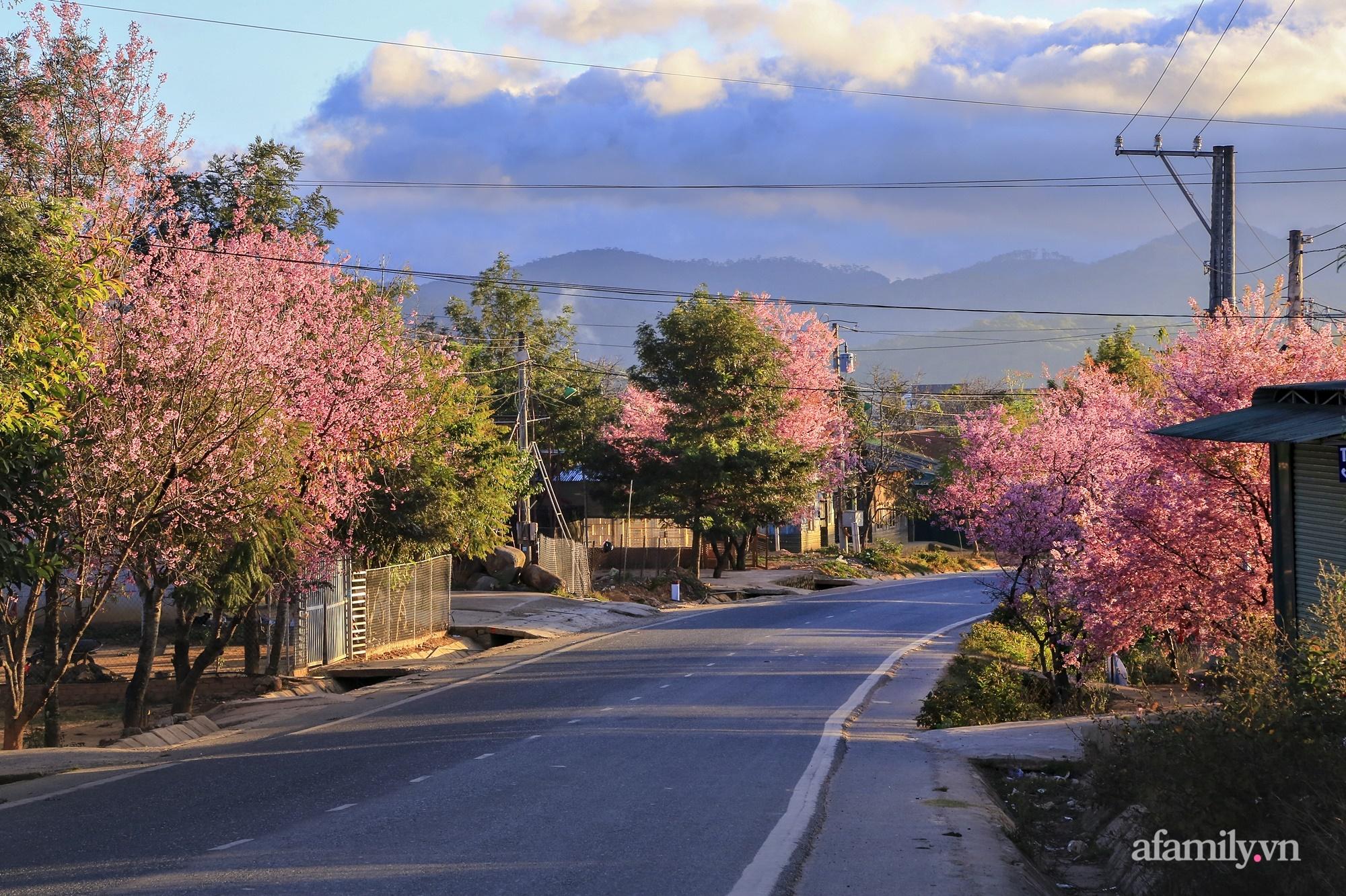 Ngắm hoa mai anh đào nở rợp trời ở ngôi làng đẹp lạ như Tây Tạng, nằm ngay gần trung tâm TP. Đà Lạt mà không phải ai cũng biết - Ảnh 1.
