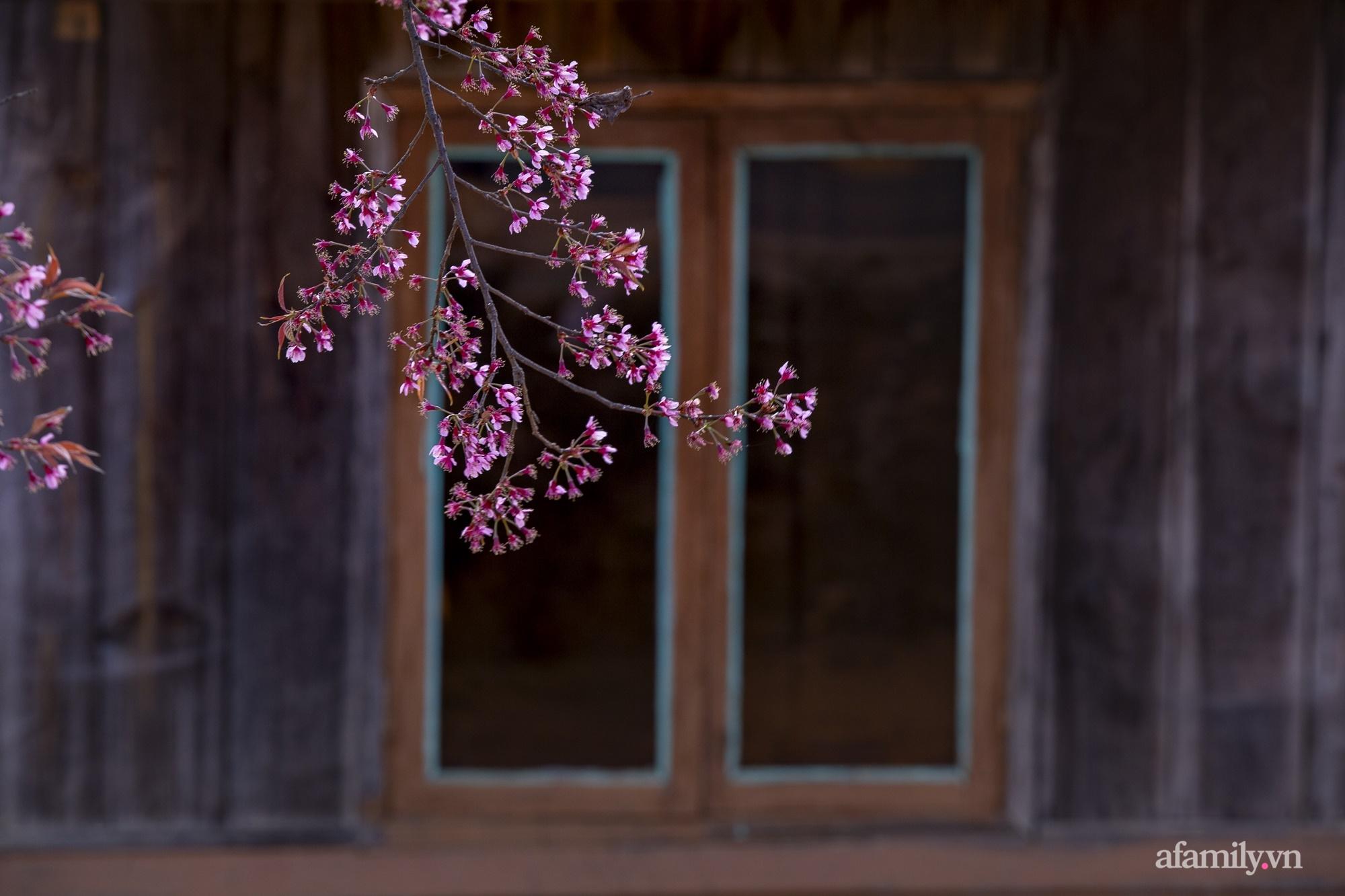 Ngắm hoa mai anh đào nở rợp trời ở ngôi làng đẹp lạ như Tây Tạng, nằm ngay gần trung tâm TP. Đà Lạt mà không phải ai cũng biết - Ảnh 12.