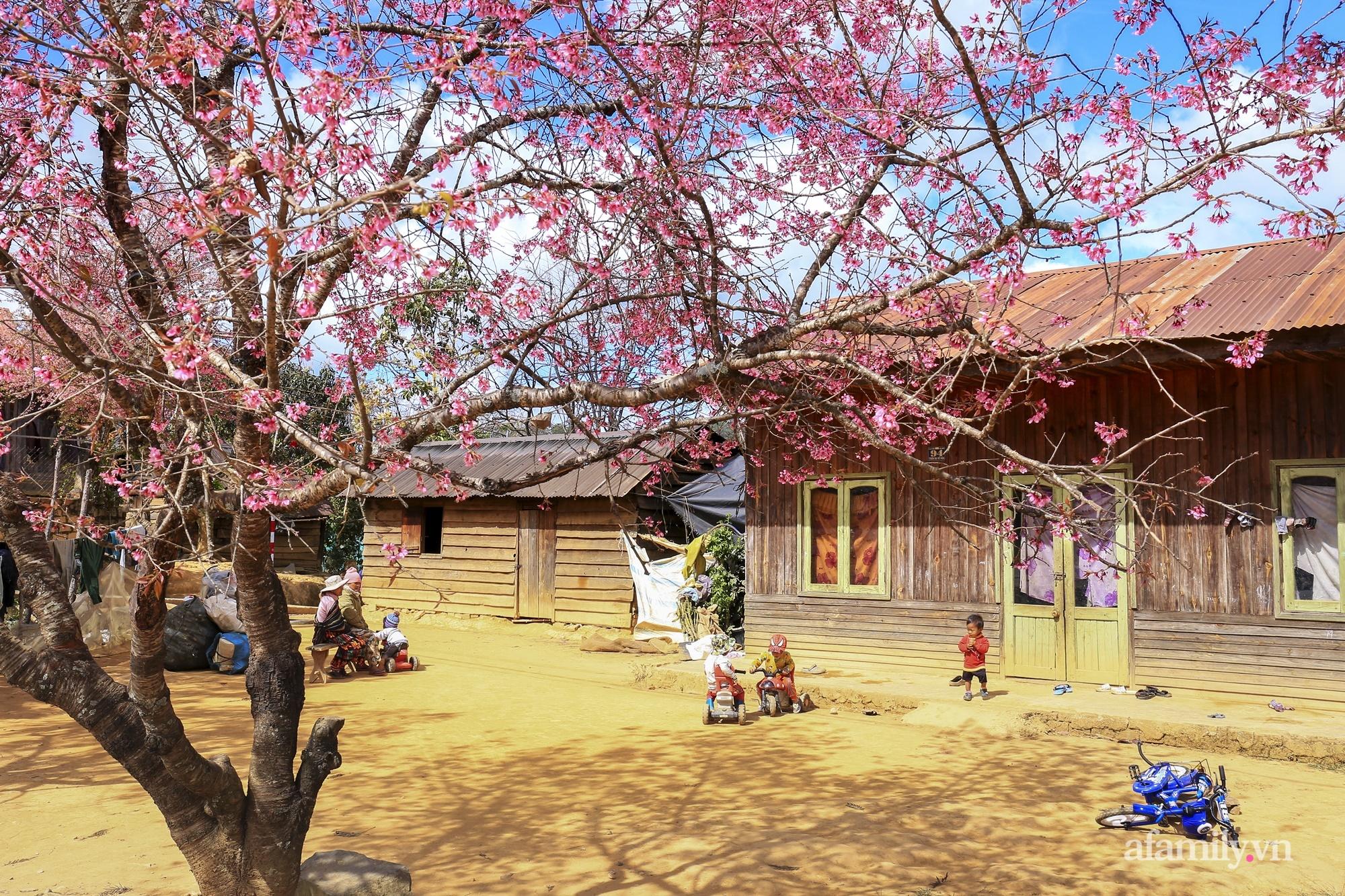 Ngắm hoa mai anh đào nở rợp trời ở ngôi làng đẹp lạ như Tây Tạng, nằm ngay gần trung tâm TP. Đà Lạt mà không phải ai cũng biết - Ảnh 5.