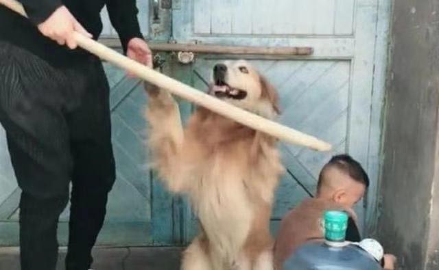"""Con trai nhỏ mắc lỗi bị bố giơ gậy dọa đánh, anh chưa kịp làm gì thì chú chó đã lao đến và có một hành động khiến người xem """"lịm tim"""" - Ảnh 1."""