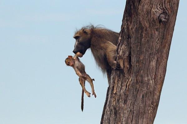 """Khoảnh khắc nhói lòng khi sư tử ngoạm chặt chuẩn bị """"đánh chén"""" chú khỉ con, đau đớn nhưng là quy luật nghiệt ngã của tự nhiên - Ảnh 14."""