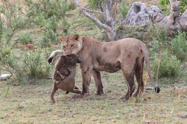 """Khoảnh khắc nhói lòng khi sư tử ngoạm chặt chuẩn bị """"đánh chén"""" chú khỉ con, đau đớn nhưng là quy luật nghiệt ngã của tự nhiên - Ảnh 6."""