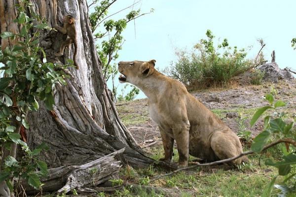 """Khoảnh khắc nhói lòng khi sư tử ngoạm chặt chuẩn bị """"đánh chén"""" chú khỉ con, đau đớn nhưng là quy luật nghiệt ngã của tự nhiên - Ảnh 7."""