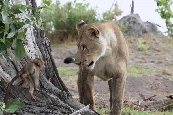 """Khoảnh khắc nhói lòng khi sư tử ngoạm chặt chuẩn bị """"đánh chén"""" chú khỉ con, đau đớn nhưng là quy luật nghiệt ngã của tự nhiên - Ảnh 8."""