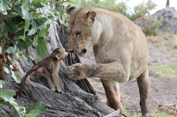 """Khoảnh khắc nhói lòng khi sư tử ngoạm chặt chuẩn bị """"đánh chén"""" chú khỉ con, đau đớn nhưng là quy luật nghiệt ngã của tự nhiên - Ảnh 9."""