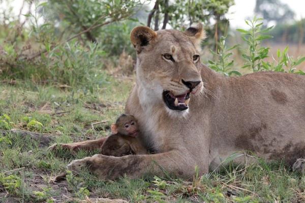 """Khoảnh khắc nhói lòng khi sư tử ngoạm chặt chuẩn bị """"đánh chén"""" chú khỉ con, đau đớn nhưng là quy luật nghiệt ngã của tự nhiên - Ảnh 10."""