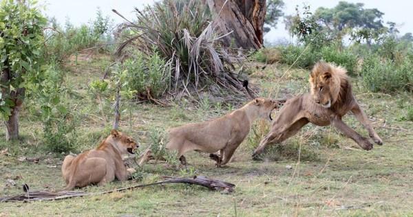 """Khoảnh khắc nhói lòng khi sư tử ngoạm chặt chuẩn bị """"đánh chén"""" chú khỉ con, đau đớn nhưng là quy luật nghiệt ngã của tự nhiên - Ảnh 13."""
