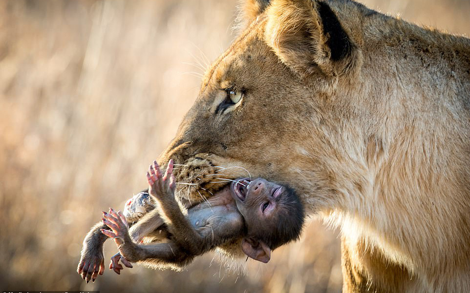 """Khoảnh khắc nhói lòng khi sư tử ngoạm chặt chuẩn bị """"đánh chén"""" chú khỉ con, đau đớn nhưng là quy luật nghiệt ngã của tự nhiên"""