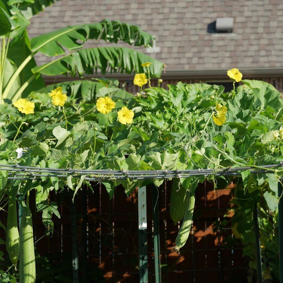 Khu vườn 1000m2 đủ loại rau Việt do con gái tặng mẹ trên đất Mỹ - Ảnh 20.