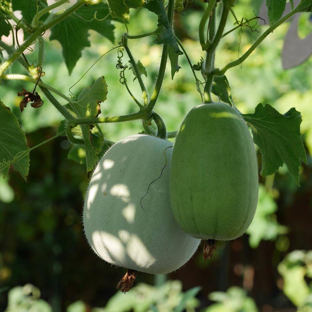 Khu vườn 1000m2 đủ loại rau Việt do con gái tặng mẹ trên đất Mỹ - Ảnh 19.