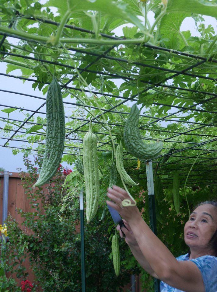 Khu vườn 1000m2 đủ loại rau Việt do con gái tặng mẹ trên đất Mỹ - Ảnh 9.