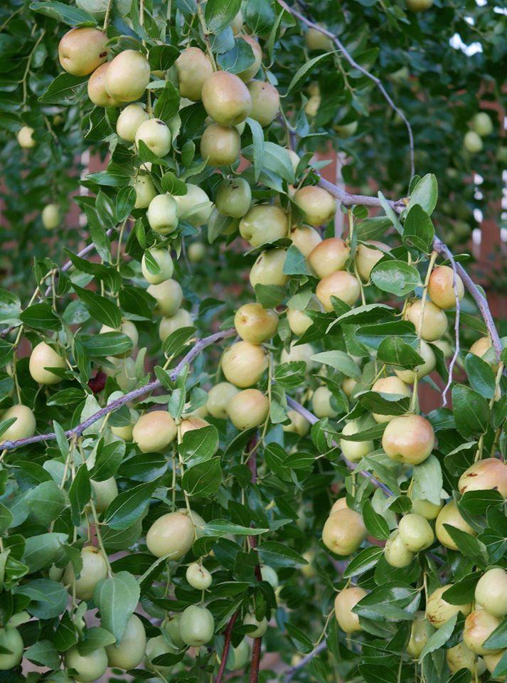 Khu vườn 1000m2 đủ loại rau Việt do con gái tặng mẹ trên đất Mỹ - Ảnh 6.