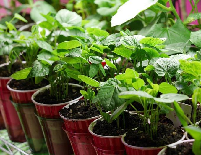 Khu vườn 1000m2 đủ loại rau Việt do con gái tặng mẹ trên đất Mỹ - Ảnh 7.
