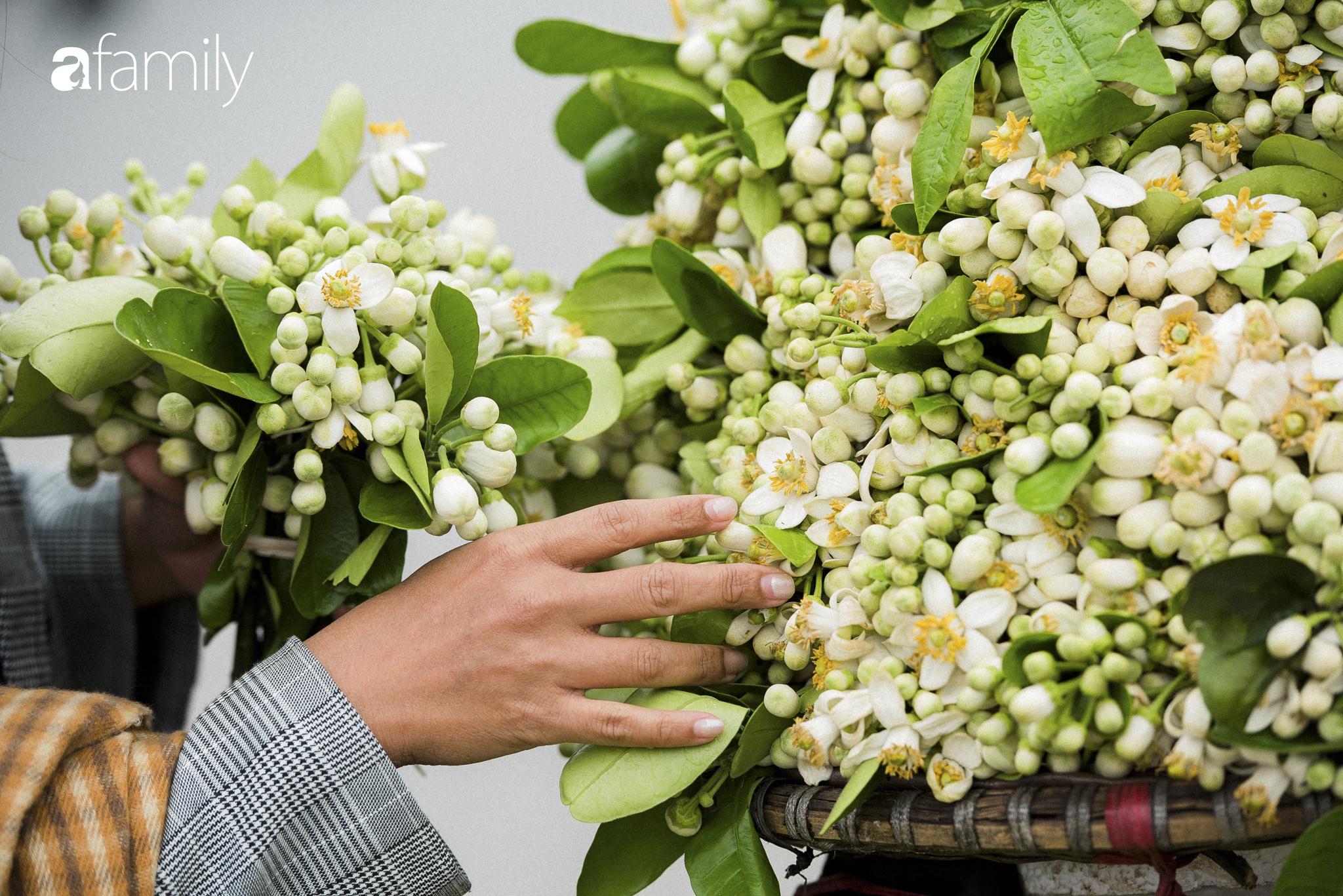 """Hoa bưởi - loài hoa quê kiểng """"ướp"""" thơm chốn kinh kỳ tháng Giêng hai - Ảnh 5."""