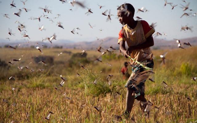 """Phát hiện ra """"cứu tinh"""" cho châu Phi: Có thể tiêu diệt hàng trăm tỷ con châu chấu"""