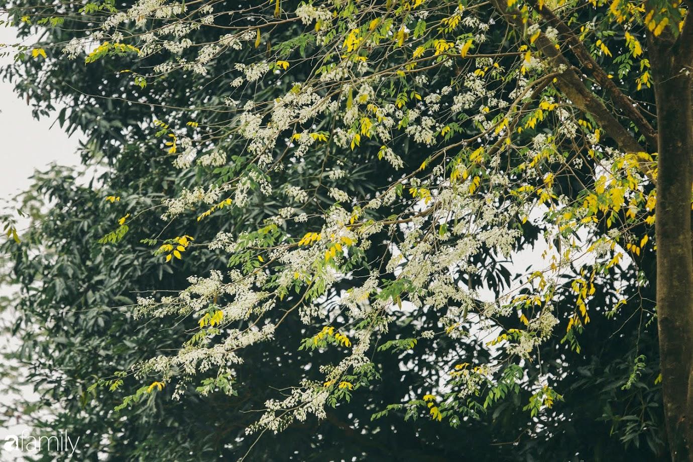Mùa hoa sưa lại về trên phố, trắng rợp trời Hà Nội như bông mây ngọt ngào gọi mời tháng Ba - Ảnh 3.