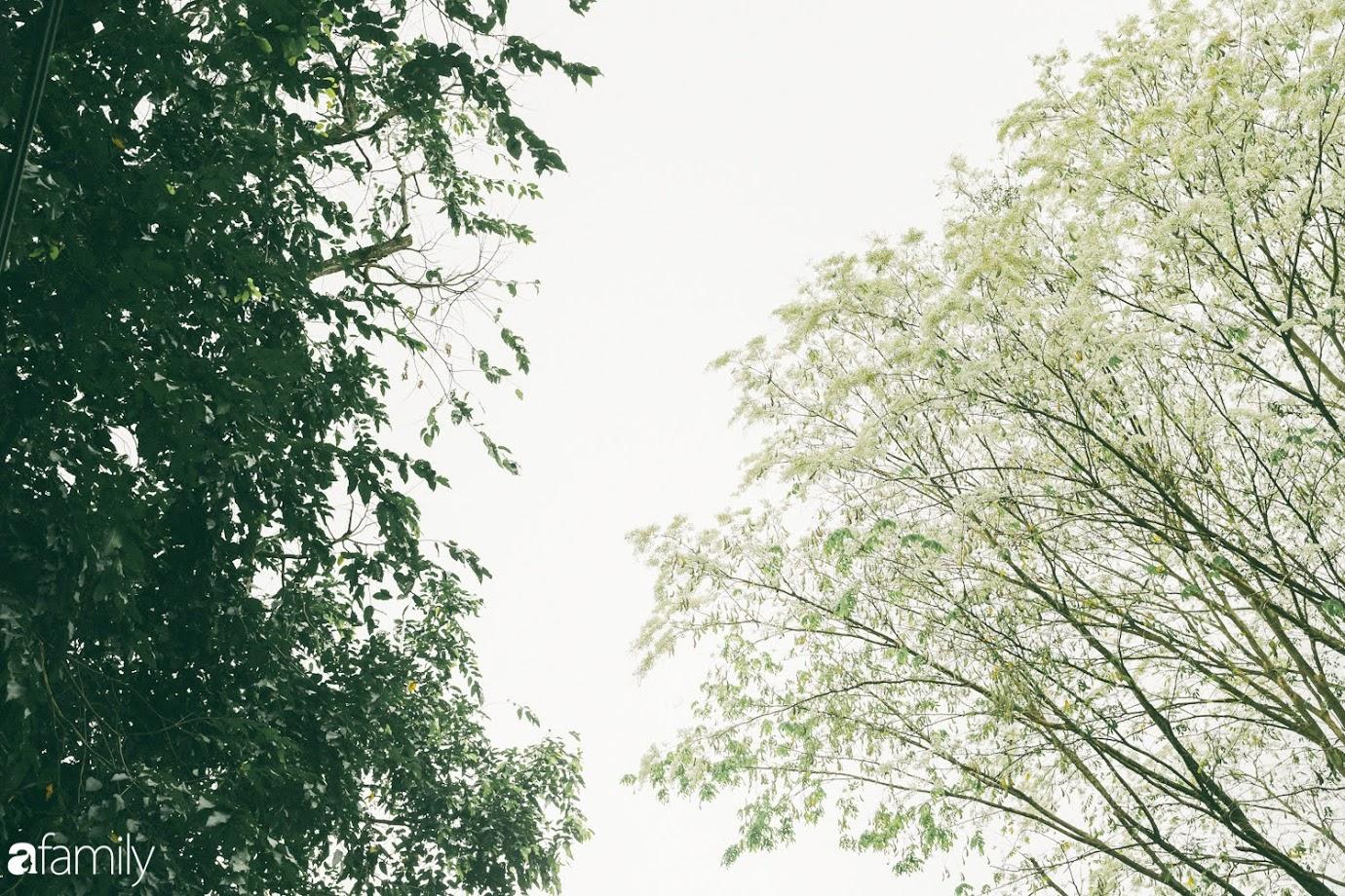Mùa hoa sưa lại về trên phố, trắng rợp trời Hà Nội như bông mây ngọt ngào gọi mời tháng Ba - Ảnh 17.