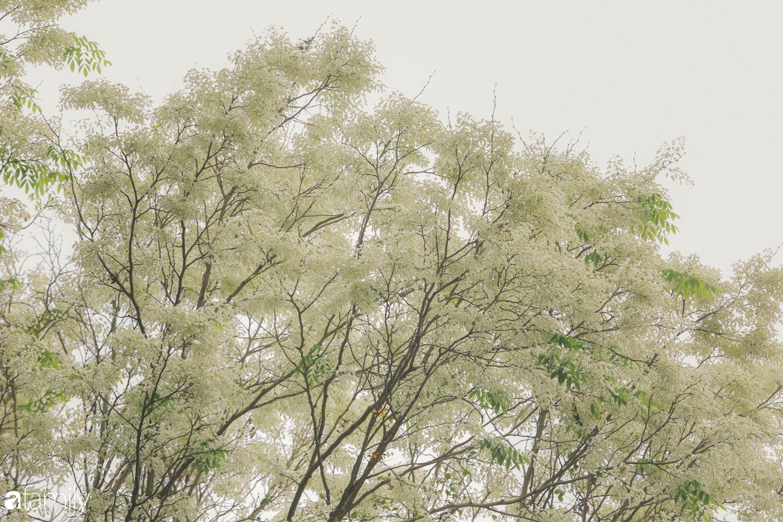 Mùa hoa sưa lại về trên phố, trắng rợp trời Hà Nội như bông mây ngọt ngào gọi mời tháng Ba - Ảnh 7.