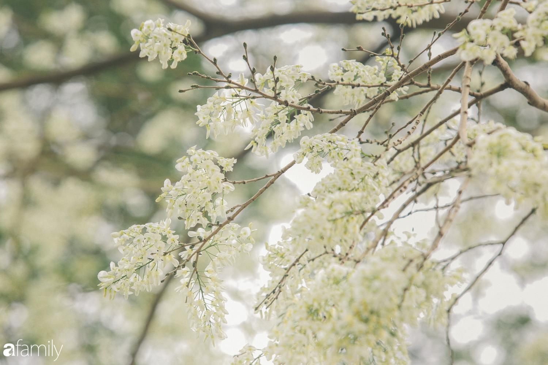 Mùa hoa sưa lại về trên phố, trắng rợp trời Hà Nội như bông mây ngọt ngào gọi mời tháng Ba - Ảnh 12.
