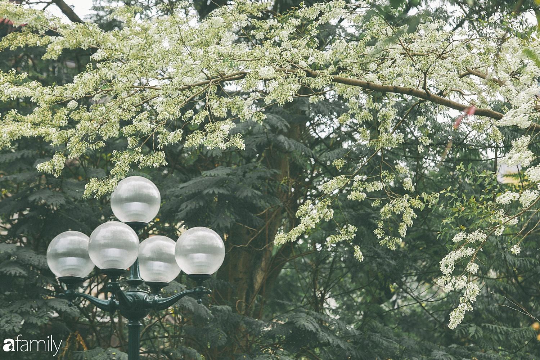 Mùa hoa sưa lại về trên phố, trắng rợp trời Hà Nội như bông mây ngọt ngào gọi mời tháng Ba - Ảnh 4.