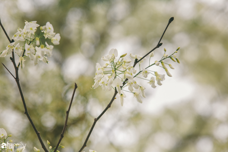 Mùa hoa sưa lại về trên phố, trắng rợp trời Hà Nội như bông mây ngọt ngào gọi mời tháng Ba - Ảnh 13.