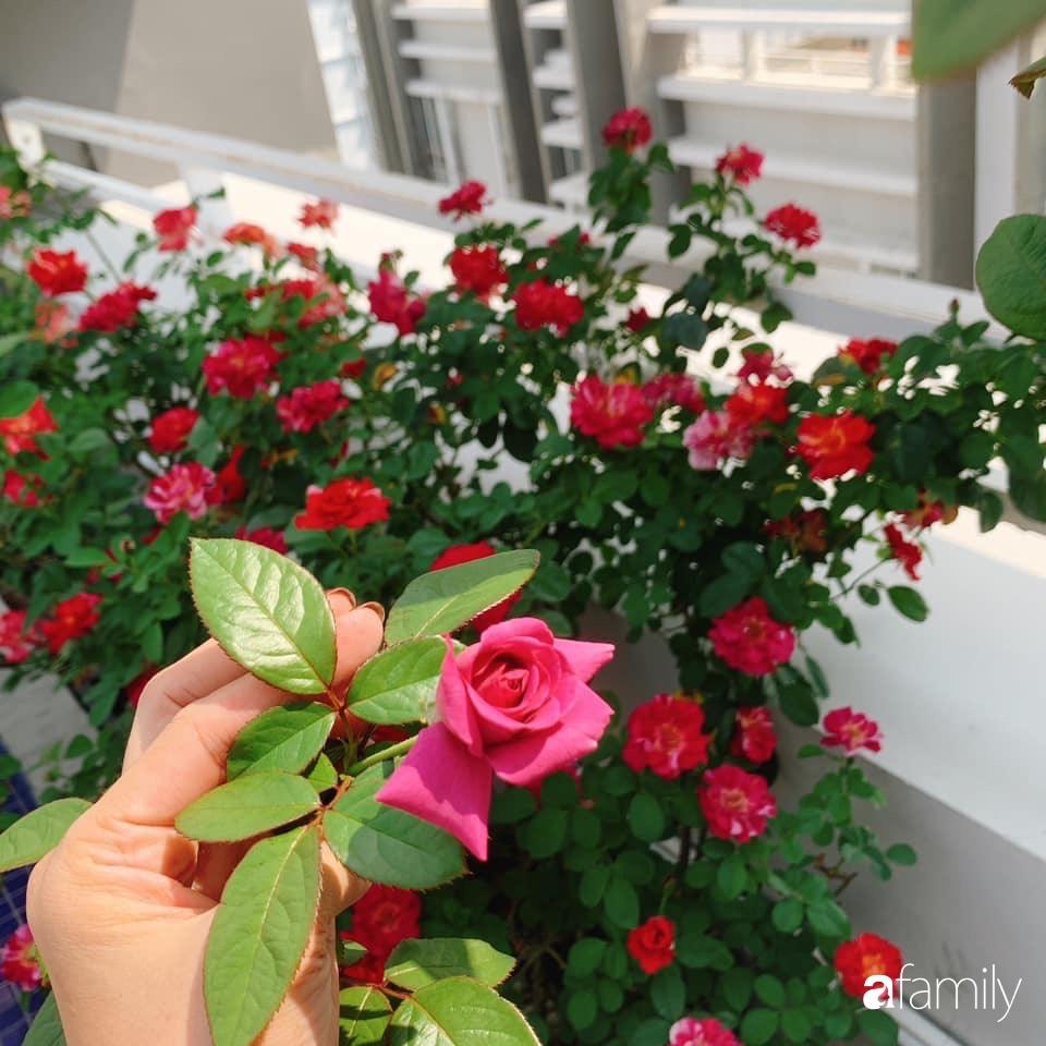 """""""Gia tài"""" rực rỡ với đủ loại hồng khoe sắc trên sân thượng 180m2 của nữ Giảng viên xinh đẹp ở TP. HCM - Ảnh 8."""