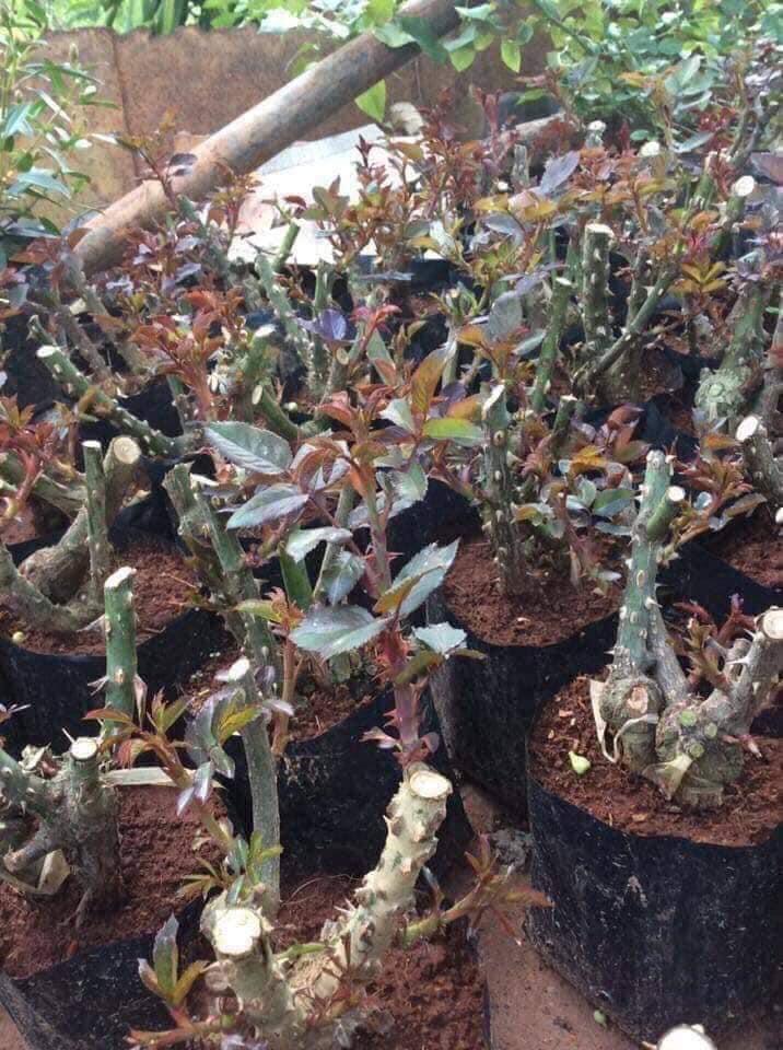 Sự thật về hồng rễ trần đang được bán giá rẻ như cho 10-15 ngàn đồng/gốc đầy chợ mạng mà chị em tới tấp mua về trồng - Ảnh 4.