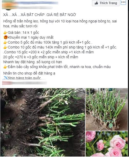 Sự thật về hồng rễ trần đang được bán giá rẻ như cho 10-15 ngàn đồng/gốc đầy chợ mạng mà chị em tới tấp mua về trồng - Ảnh 1.