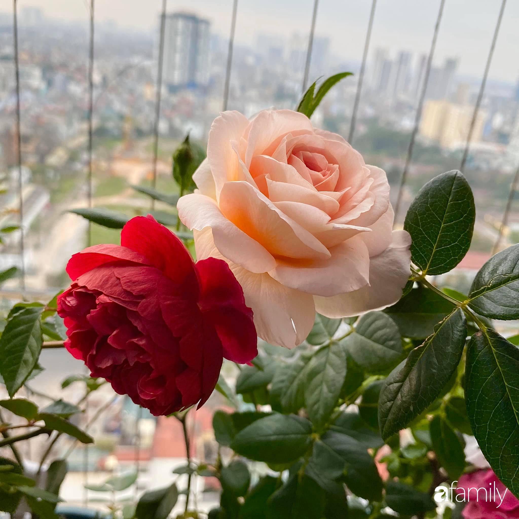 Mẹ Hà Nội chia sẻ bí quyết tự mua phụ kiện tạo nên vườn hồng đẹp mê ly ở ban công - Ảnh 1.