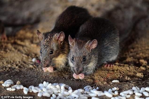 Một người đàn ông tử vong trên xe buýt tại Trung Quốc dương tính loại virus lây nhiễm từ chuột sang người - Ảnh 5.