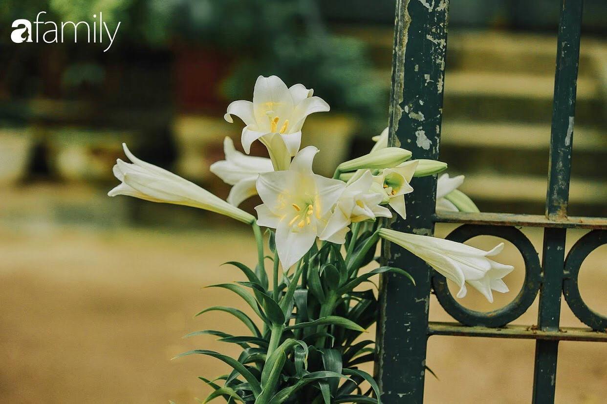 """Mùa hoa loa kèn về giữa dịch Covid-19, phố phường vắng tanh, loài hoa thanh tú ngày nào bỗng nhiên bị """"thất sủng""""  - Ảnh 7."""