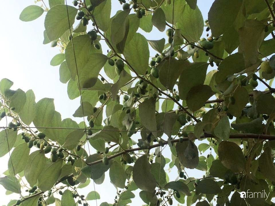 Mẹ đảm mát tay trồng đủ loại cây trái tốt tươi trên sân thượng 100m2 ở Hà Nội - Ảnh 7.