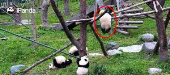 """Dư luận phẫn nộ trước sự việc """"quốc bảo"""" của Trung Quốc gấu trúc 8 tháng tuổi chết do tự quấn dây thừng quanh cổ, 7 giờ sau mới được phát hiện  - Ảnh 1."""