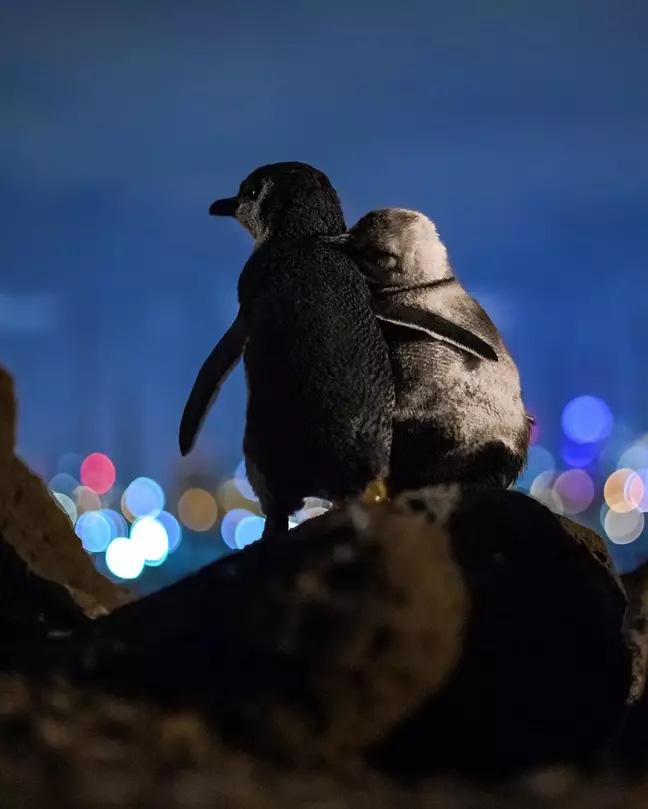 """Bức ảnh 2 con chim cánh cụt tựa vào nhau ngắm nhìn cảnh đêm tuyệt đẹp nhưng lại chứa đựng câu chuyện """"khiếm khuyết tình cảm"""" của chúng - Ảnh 2."""