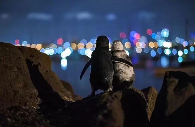 """Bức ảnh 2 con chim cánh cụt tựa vào nhau ngắm nhìn cảnh đêm tuyệt đẹp nhưng lại chứa đựng câu chuyện """"khiếm khuyết tình cảm"""" của chúng - Ảnh 1."""