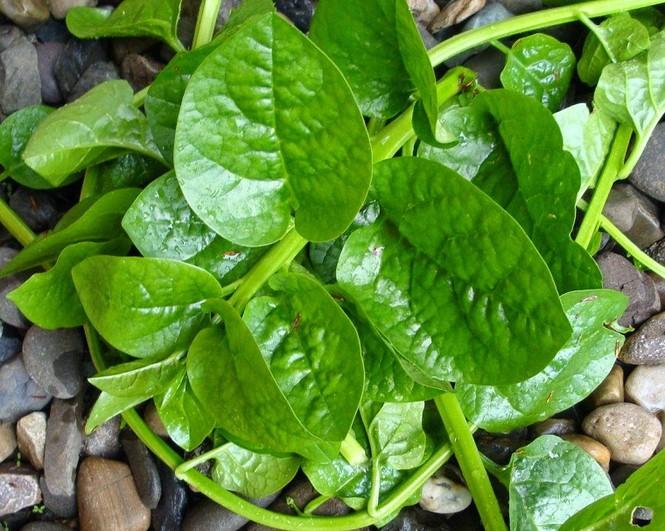 Rau mồng tơi: Cực tốt và cực độc, biết mà tránh khi ăn kẻo rước họa vào người - Ảnh 3.