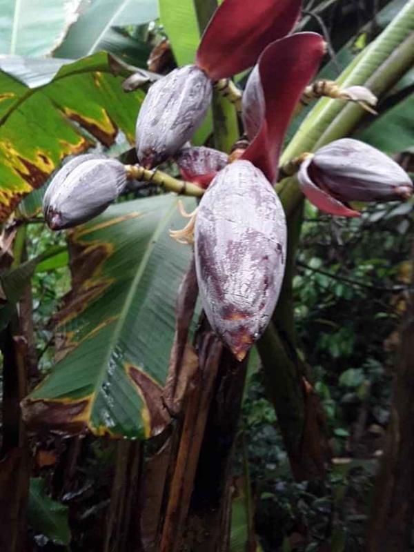 Hình ảnh cây su hào đặc biệt, củ mọc sai trĩu như cây ăn quả khiến dân mạng cực bất ngờ - Ảnh 4.