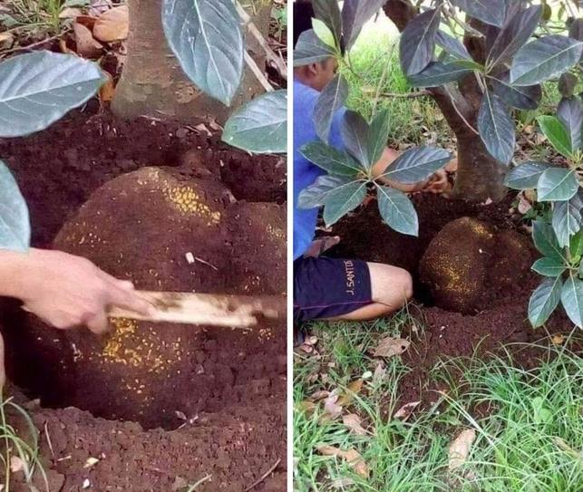 Hình ảnh cây su hào đặc biệt, củ mọc sai trĩu như cây ăn quả khiến dân mạng cực bất ngờ - Ảnh 2.