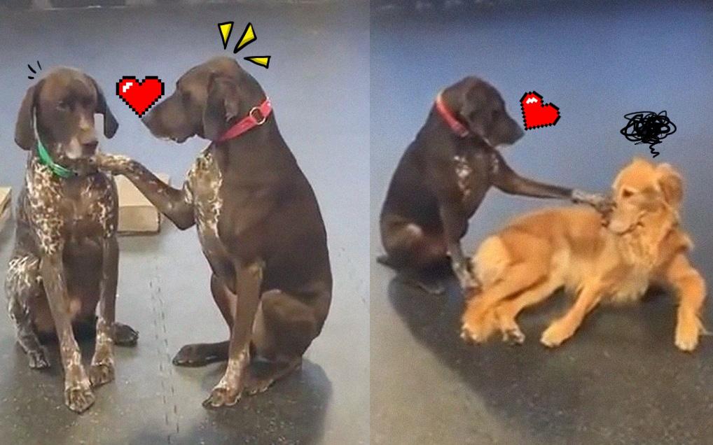 """Cún cưng trở thành """"ngôi sao nhà trẻ"""" vì chuyên đi xoa đầu các bạn chó hẵng còn bỡ ngỡ"""