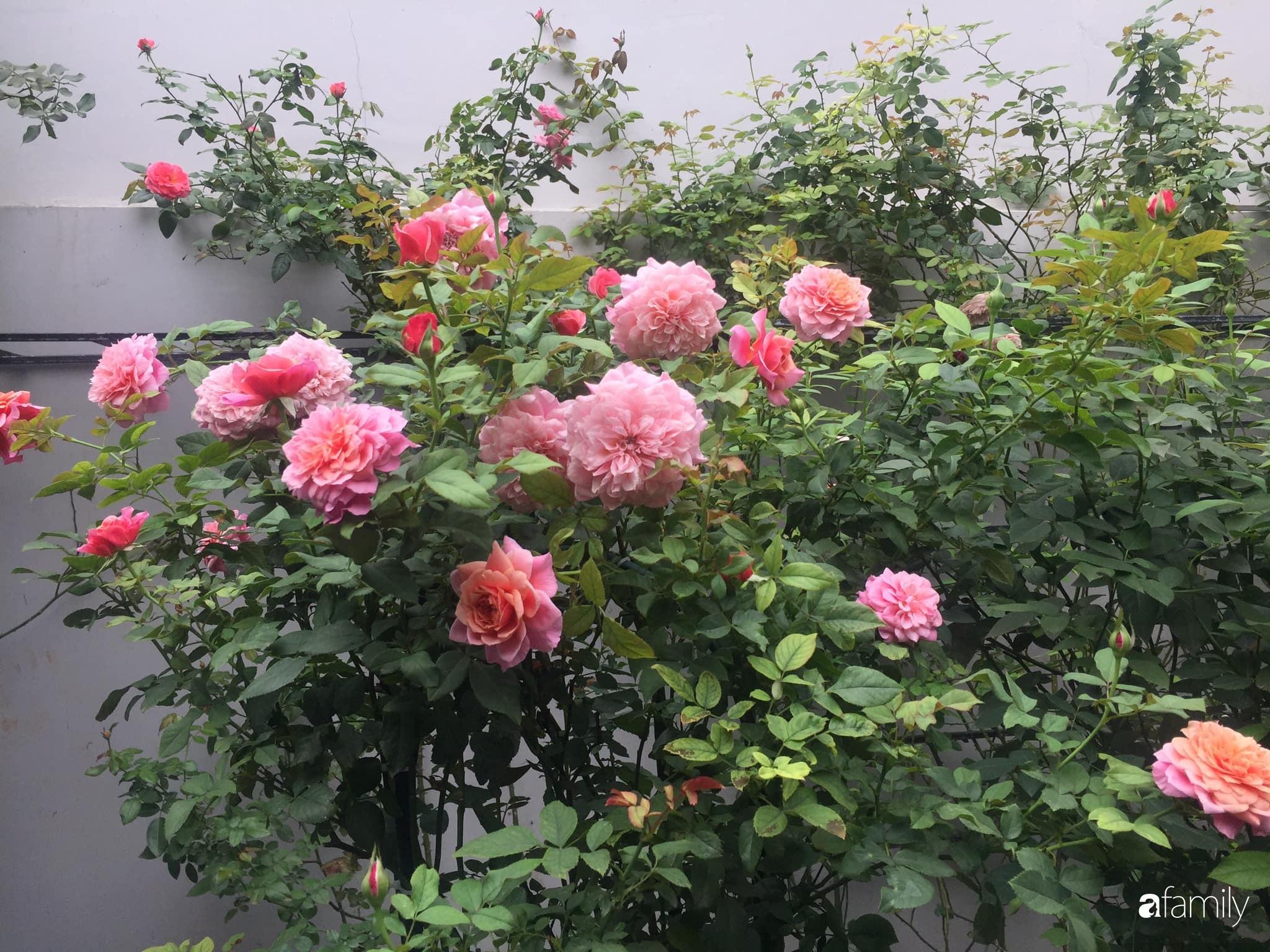 Lối nhỏ vào nhà níu chân bởi những gốc hồng xanh mướt lá rực rỡ sắc hoa ở Sài Gòn - Ảnh 14.