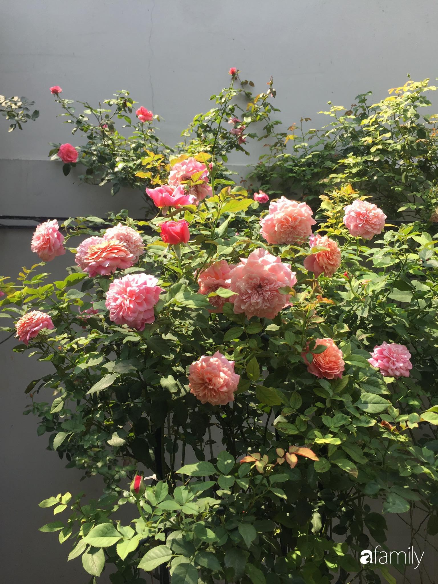 Lối nhỏ vào nhà níu chân bởi những gốc hồng xanh mướt lá rực rỡ sắc hoa ở Sài Gòn - Ảnh 5.