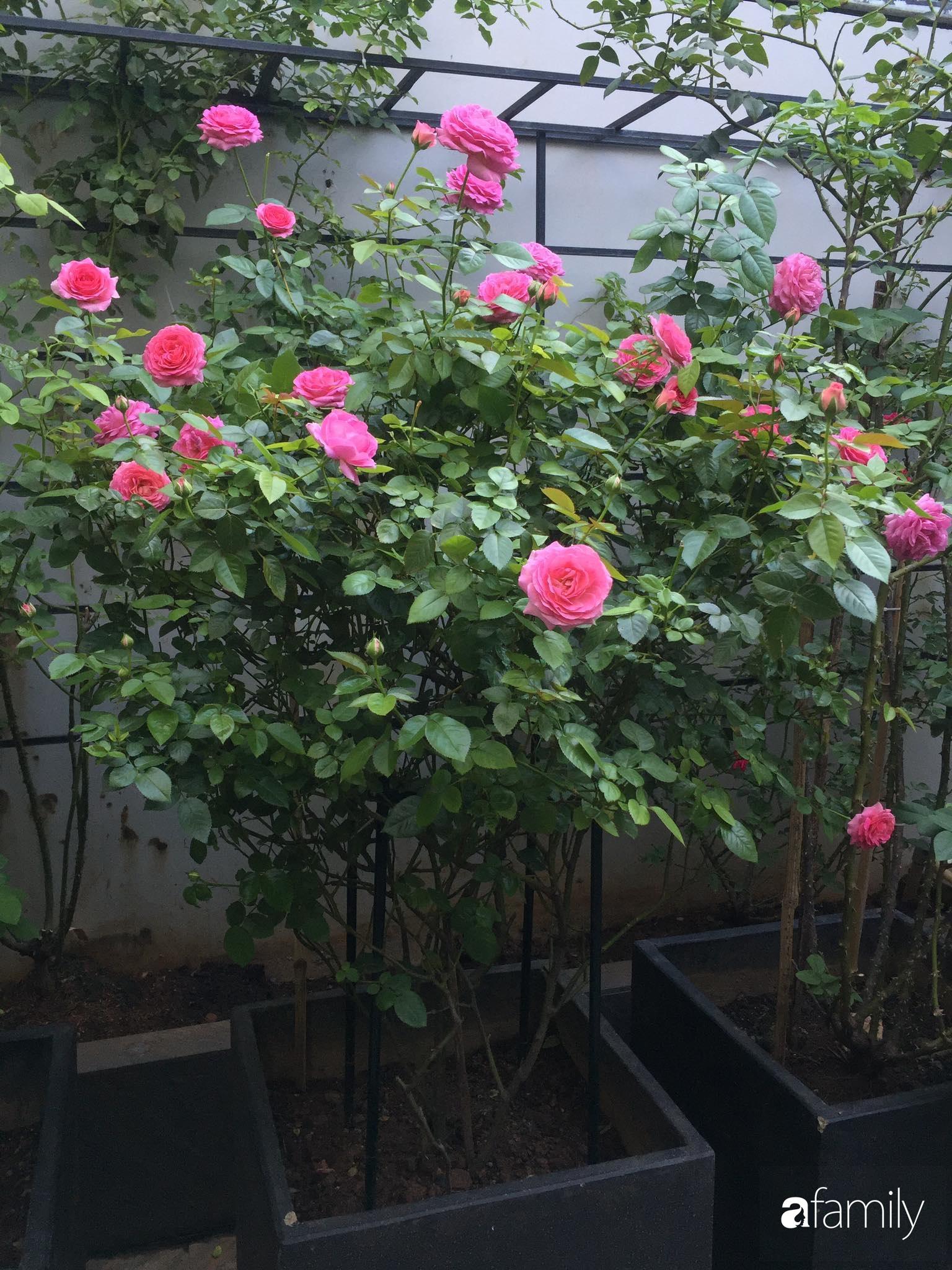 Lối nhỏ vào nhà níu chân bởi những gốc hồng xanh mướt lá rực rỡ sắc hoa ở Sài Gòn - Ảnh 6.