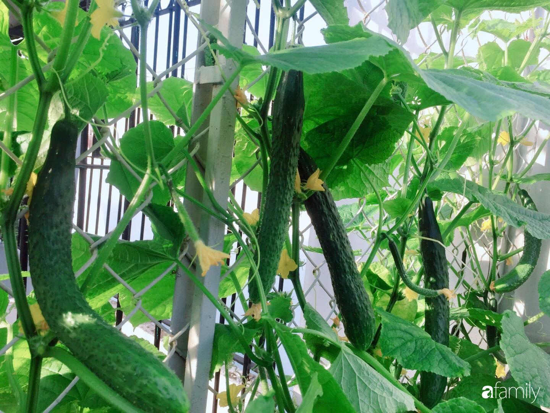 """Gặp """"siêu nhân"""" trồng dưa trên sân thượng với kinh nghiệm đáng ngưỡng mộ ở Sài Gòn - Ảnh 9."""