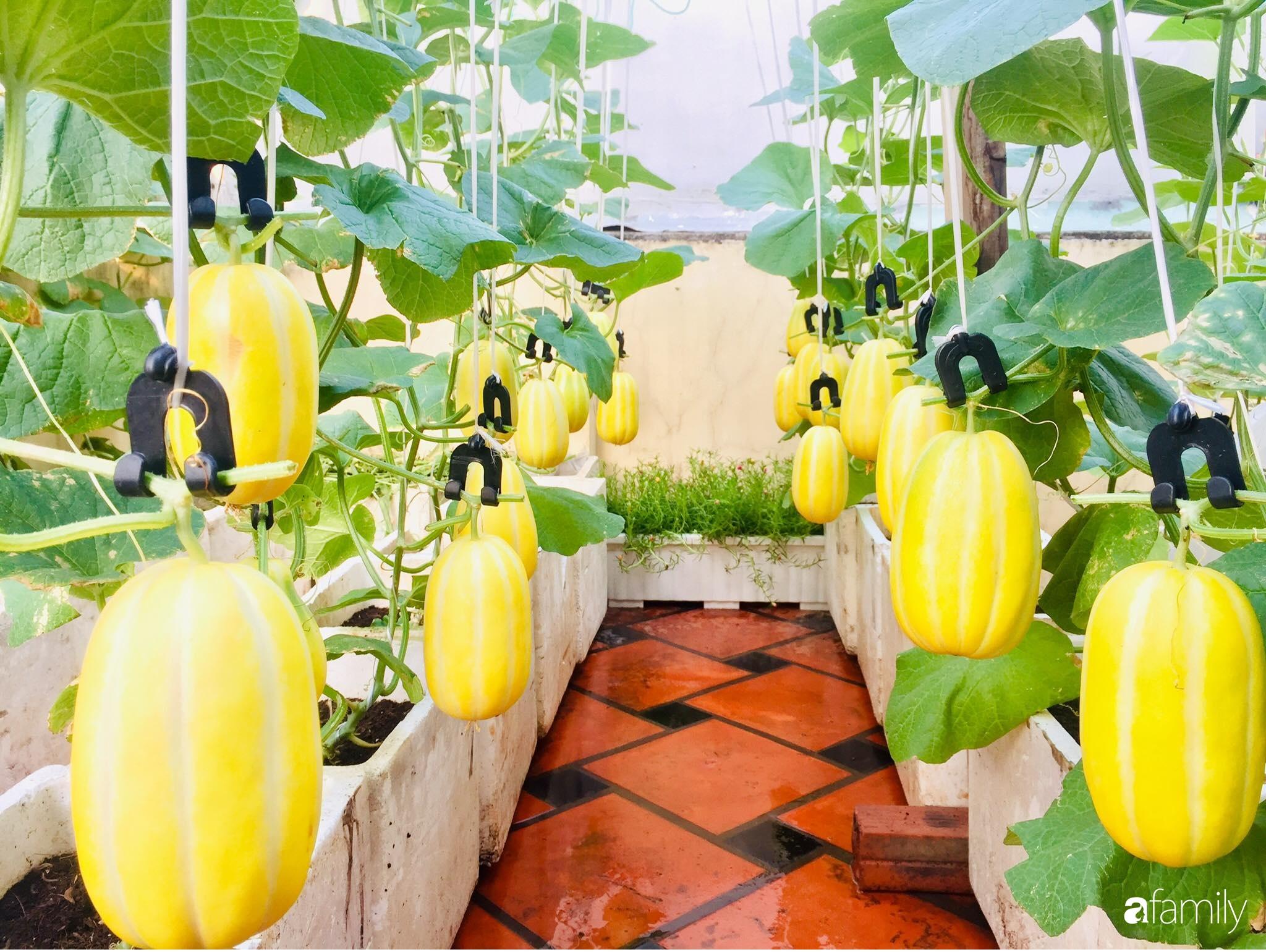 """Gặp """"siêu nhân"""" trồng dưa trên sân thượng với kinh nghiệm đáng ngưỡng mộ ở Sài Gòn - Ảnh 12."""