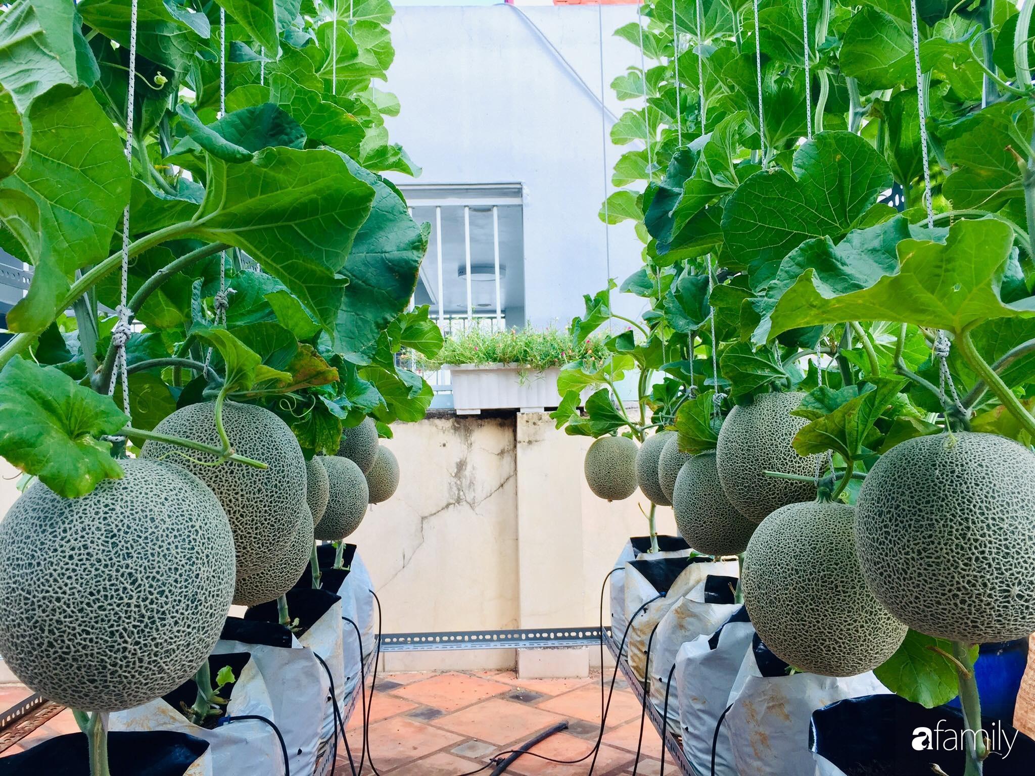 """Gặp """"siêu nhân"""" trồng dưa trên sân thượng với kinh nghiệm đáng ngưỡng mộ ở Sài Gòn - Ảnh 2."""