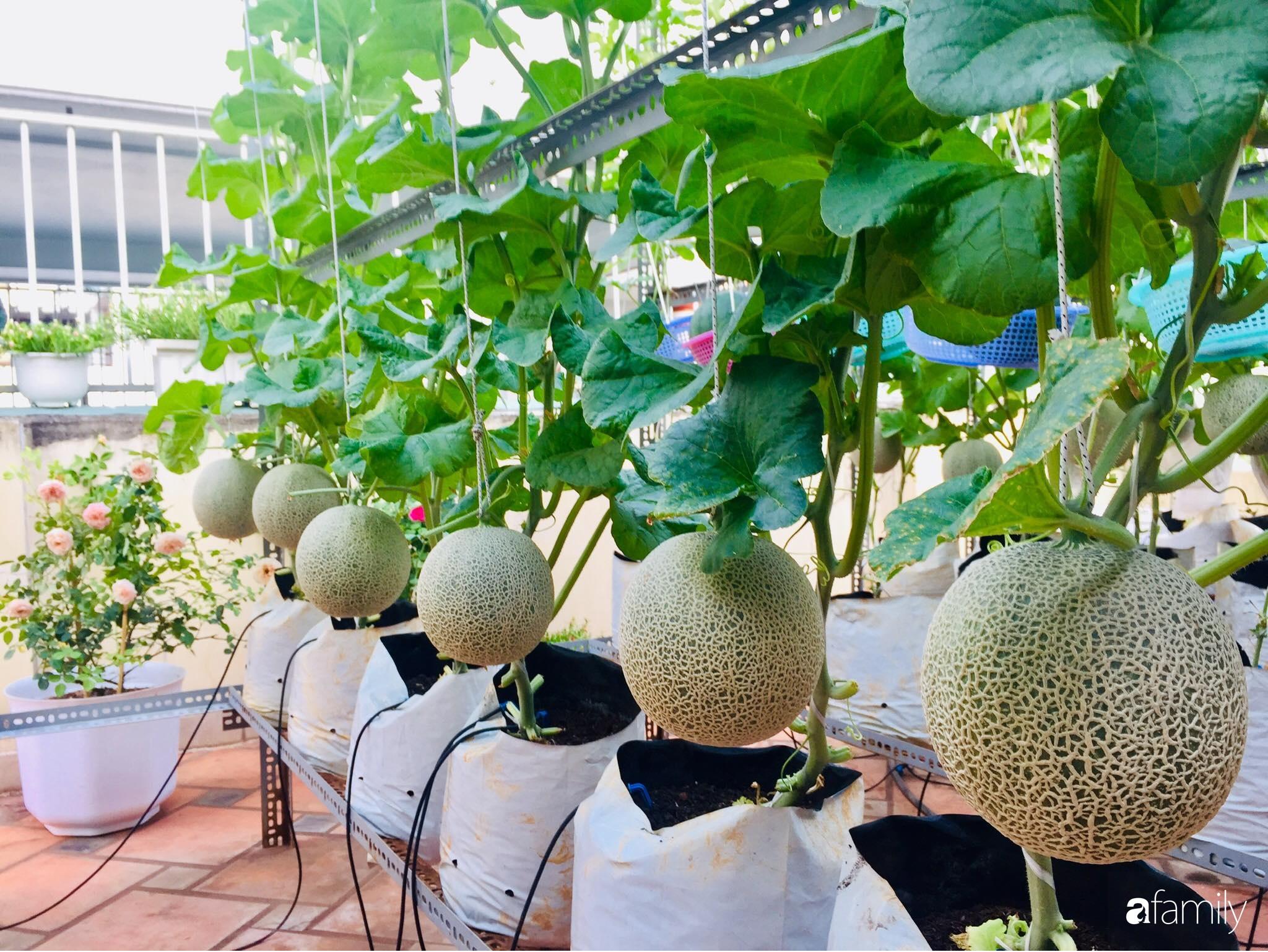 """Gặp """"siêu nhân"""" trồng dưa trên sân thượng với kinh nghiệm đáng ngưỡng mộ ở Sài Gòn - Ảnh 11."""